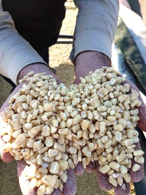 Non GMO white maize from Mafikeng South Africa for sale
