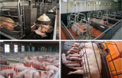 pork factory farming