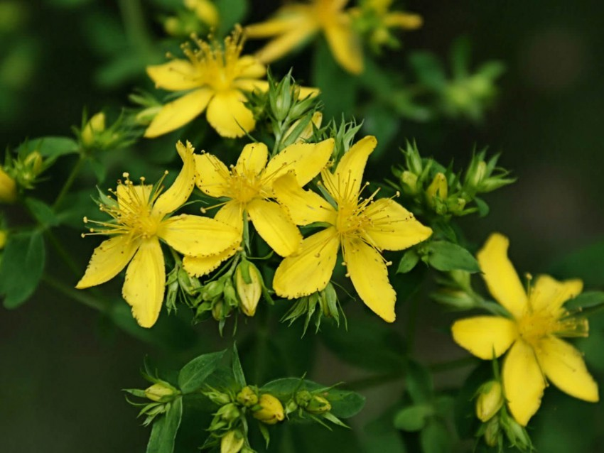 St Johns Wort & Other Medicinal Plant Seeds for Sale in South Africa